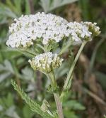 Millefolium homéopathie