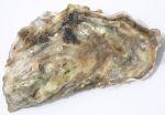 hepar sulfuris calcareum