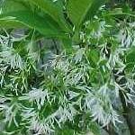 arbre de neige homéopathie