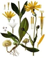 arnica homeopathie
