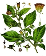 belladonna homeopathie