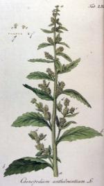 chenopodium homéopathie