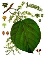 cocculus indicus homéopathie