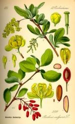 berberis vulgaris homeopathie