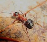formica rufa homéopathie