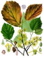 hamemelis homeopathie