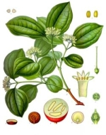 nux vomiqua homeopathie