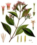 china rubra homeopathie